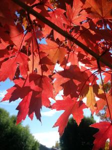 Maple leaves in fall, autumn